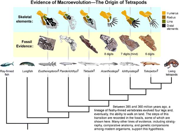 Source: K.  Padian, Integra Comp Biol 2008; 48: 175-88, reproduced in A. Thanukos, Evolution: Education and Outreach 2009; 2: 84-89.